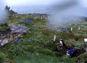 Puffins on the camera