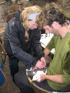 Vicky and Tim attaching a tag to a Lesser Black-backed Gull