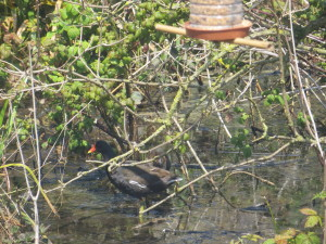 A Moorhen hiding in the branches