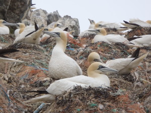 The Gannet colony close-up - it is truly remarkable how striking these birds are