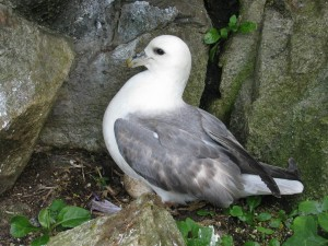 Fulmars lay a single egg on the bare rock