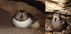 Puffin (left) and storm petrel (right) incubating eggs in burrows or wall cavities