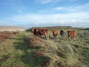 Cattle graze the grassland on the reserves