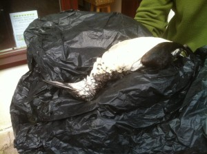 A guillemot that died due to PIB that washed up on Alderney in 2013
