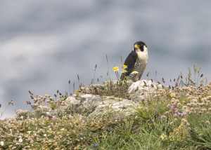 Peregrine falcons are capable of taking eggs and small chicks of seabirds