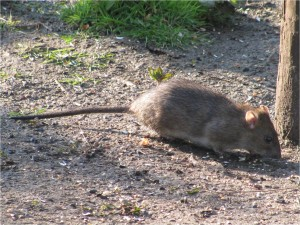 Rats can run across cliff faces and take eggs out of nests