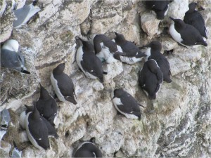 Guillemots nest in groups for protection and lay one egg each, can you see the egg in this picture?