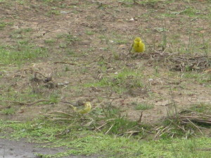 Yellow wagtails; the variation in colour of their head is very wide