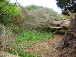 A conifer was uprooted by the storms earlier this year