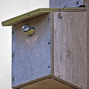 Blue tit looking out of a nest box