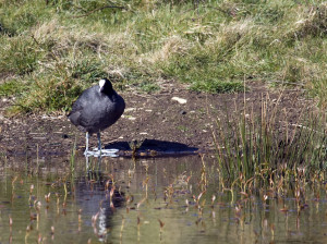 Coots have large feet to cope with the terrain
