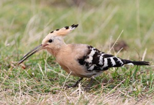 A hoopoe, a rare migrant to Alderney and the UK, feeds on a grub