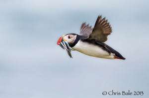 A puffin carrying sandeels