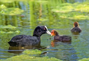 An adult coot watches over its two chicks