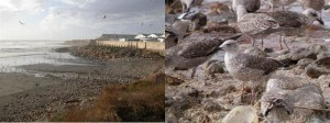Gulls scavenge amongst the fish waste discharge from a processing plant in Morocco (including a ringed bird from Burhou)