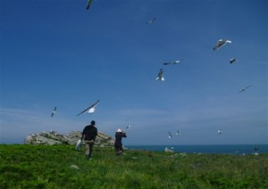 Gulls mobbing Tim and Vicky whilst they count nests