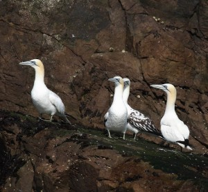 The gannet second from the right still has many black feathers in its wings, it is 2-3 years old