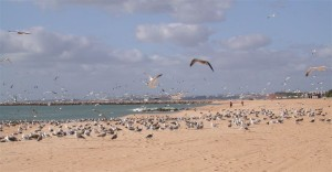 Gulls on migration in the Algarve, Portugal