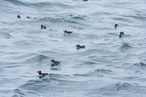 Puffins carrying sandeels on open water