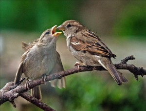 A sparrow chick begs for food from an adult female