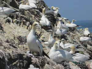 We can protect gannets whilst in their breeding colony on Alderney...