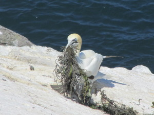 Gannet collecting good nesting material