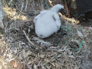 Experienced gannet nests are well built with plenty of room for a growing chick