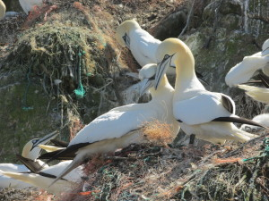 A pair of gannets reaffirming their bond whilst switching incubation