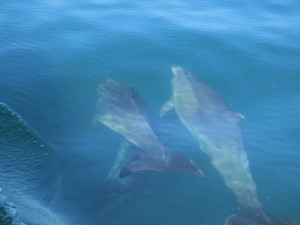 Dolphins swimming alongside our boat