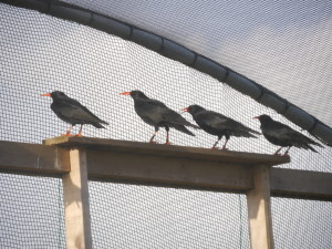 Choughs in their aviary waiting for the hatches to open.