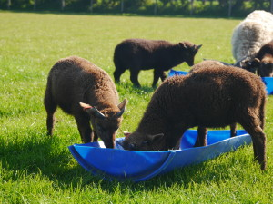 Lambs are born at the farm in St Catherines then moved to Sorel when old enough