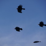 Choughs flying free in Jersey