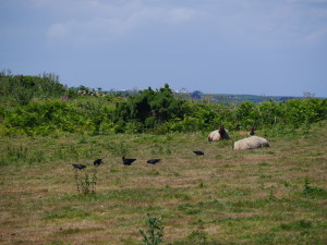 The sheep tke a break whilst the choughs reap the benefits