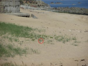 Can you make out the shape of the adult plover under the grass on its nest?