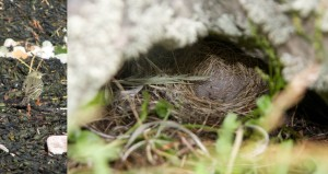 Rock pipits make nests out of vegetation in gaps under rocks and in tall grass; including on Burhou
