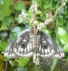 An emperor moth lays its eggs on a plant that the newly hatched caterpillars will eat, but it doesn't look after the eggs