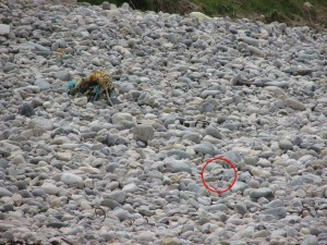 Finding the chicks on the pebble beach can be very tricky!