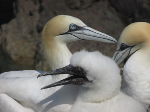 The gannet chicks are already getting as big as the adults!