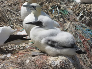 The gannet chicks are certainly getting big, their black flight feathers are coming through