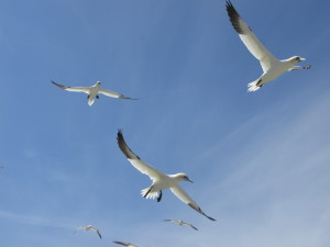 Gannets flying above our heads