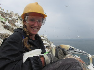 Vicky is very happy to have collected 17 gannets in less time this year; lots of data to work with!