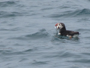 A puffin on the water with sandeels