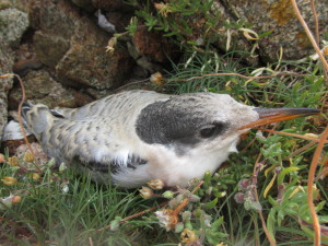 Common tern chick ready to fledge