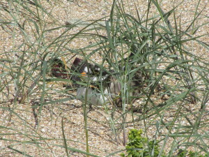 Ringed plover incubating 4 eggs on Platte Saline