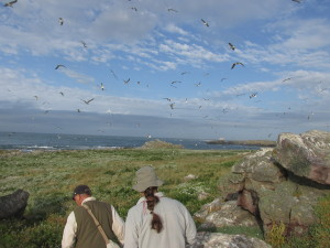 Gulls fly over our heads as we search the colony