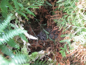 Finding chicks hidden in the vegetation or under rocks can be very difficult!