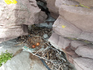 Is this a peregrine nest? Hopefully we will get the answer soon!