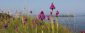 Pyramidal orchids on Bibette Head