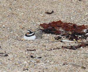 Ringed plover incubating a nest