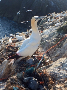 gannet, seabird, tracking, tag, ornithology